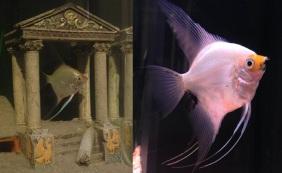 Gold Angelfish and Koi Angelfish