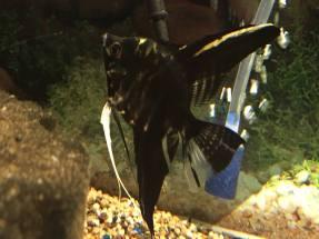 Angelfish (Black)