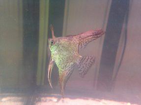 Angelfish (Leopard) 1