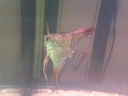 Angelfish (Leopard) 1