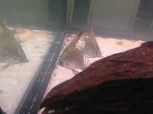 Angelfish (Leopard) 2
