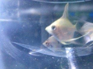 Angelfish1