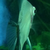 Angelfish11