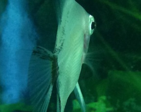 Angelfish11