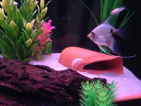 Angelfish12