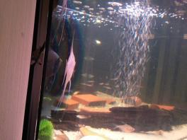 Angelfish13