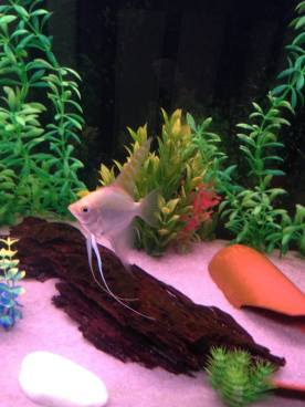 Angelfish14