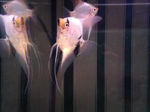 Angelfish16