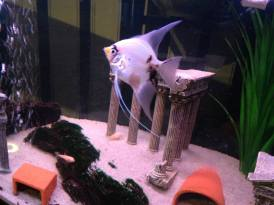 Angelfish17