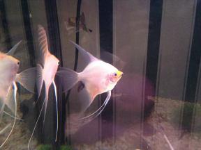 Angelfish18