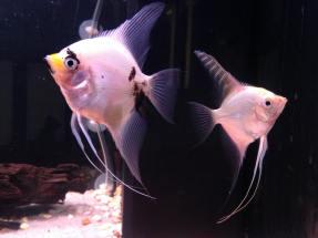 Angelfish19