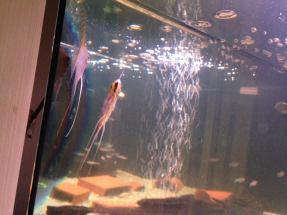 Angelfish20