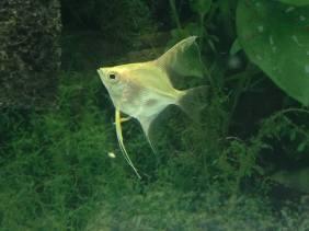 Angelfish3