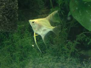 Angelfish3