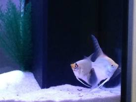 Angelfish4