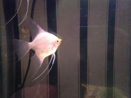 Angelfish5