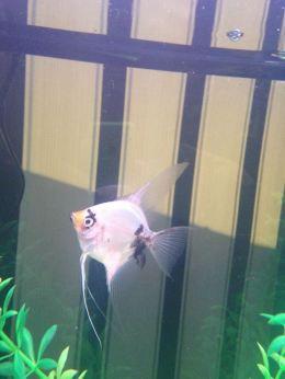 Angelfish6