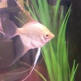 Angelfish8