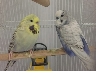 Bella and Jinky the Budgies