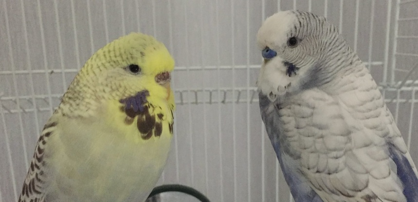 My pet budgies Bella and Jinky