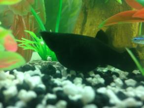 Black Molly Pregnant