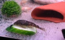 BN Cucumber