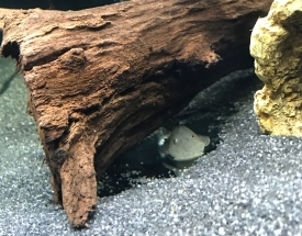 Rubbernose Pleco / Bulldog Pleco under bogwood