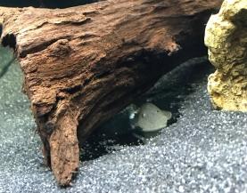 Rubbernose Pleco / Bulldog Pleco under bogwood