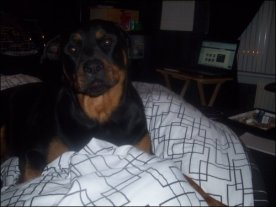 Rottweiler dog Kiya Quinn on bed