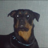 Rottweiler dog Kiya Quinn face photo
