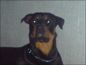 Rottweiler dog Kiya Quinn face photo