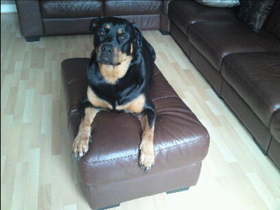 Rottweiler dog Kiya Quinn on couch