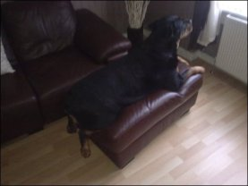 Rottweiler Sitting On Poof