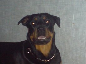 Face of Rottweiler Kiya Quinn