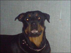 Face of Rottweiler Kiya Quinn