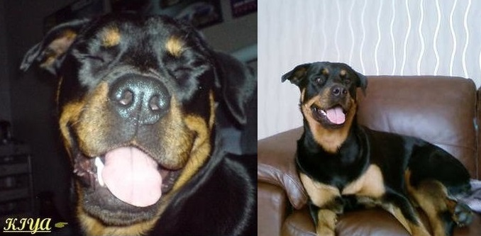 Pets of Sean Quinn (Dog: Rottweiler: Kiya)