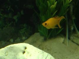 Orange Molly 1