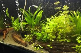 Planted Aquarium with Bogwood