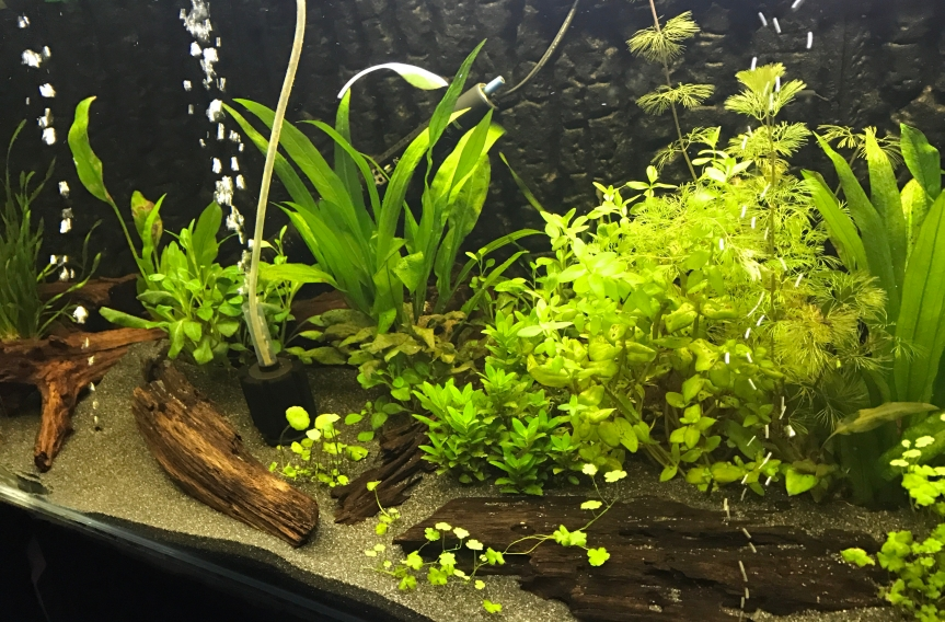 Planted Aquarium with Bogwood