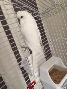 Snowy the white budgie