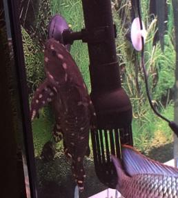 Spotted Raphael Catfish