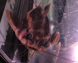 Stripped Raphael Catfish