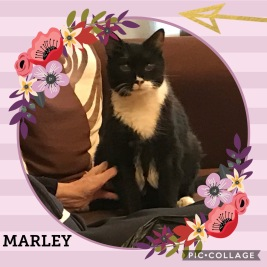 Marley - Black and White Cat