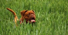 Bordeaux Mastiff Dog on Grass