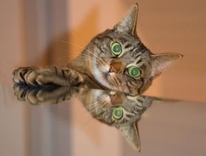 Cat Mirror Reflection Image