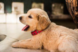 Small Dog Yawning