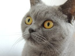 Grey Cat Yellow Eyes