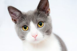 Grey White And Kitten