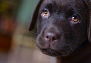 Sad Black Pup Face