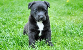 Young Black Dog On Grass